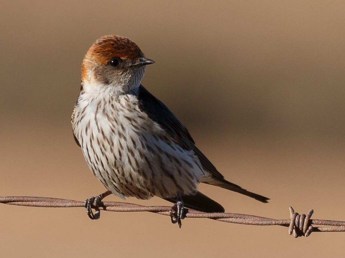 Greater Striped Swallow - Simon Best