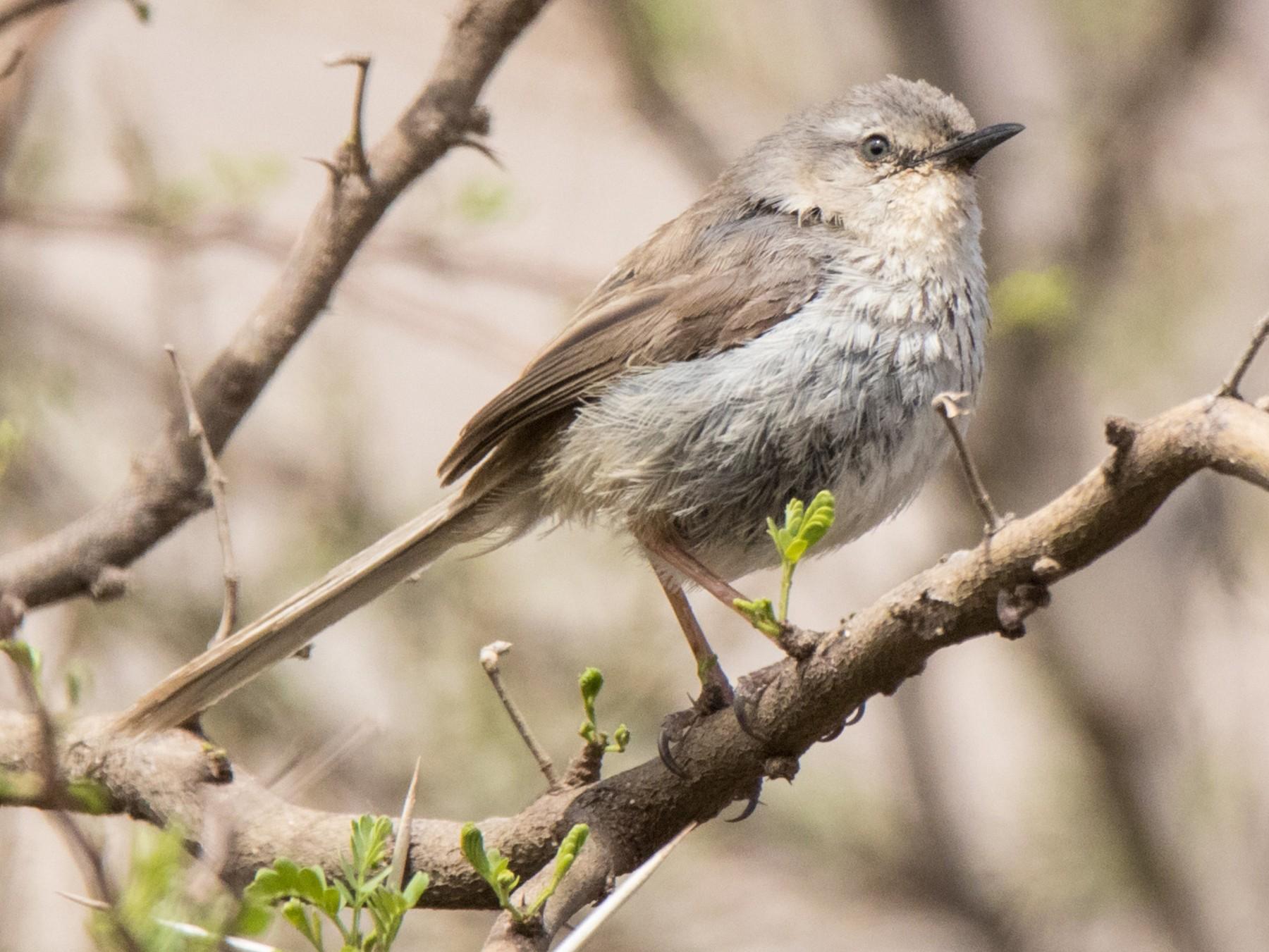 Namaqua Warbler - Peter  Steward