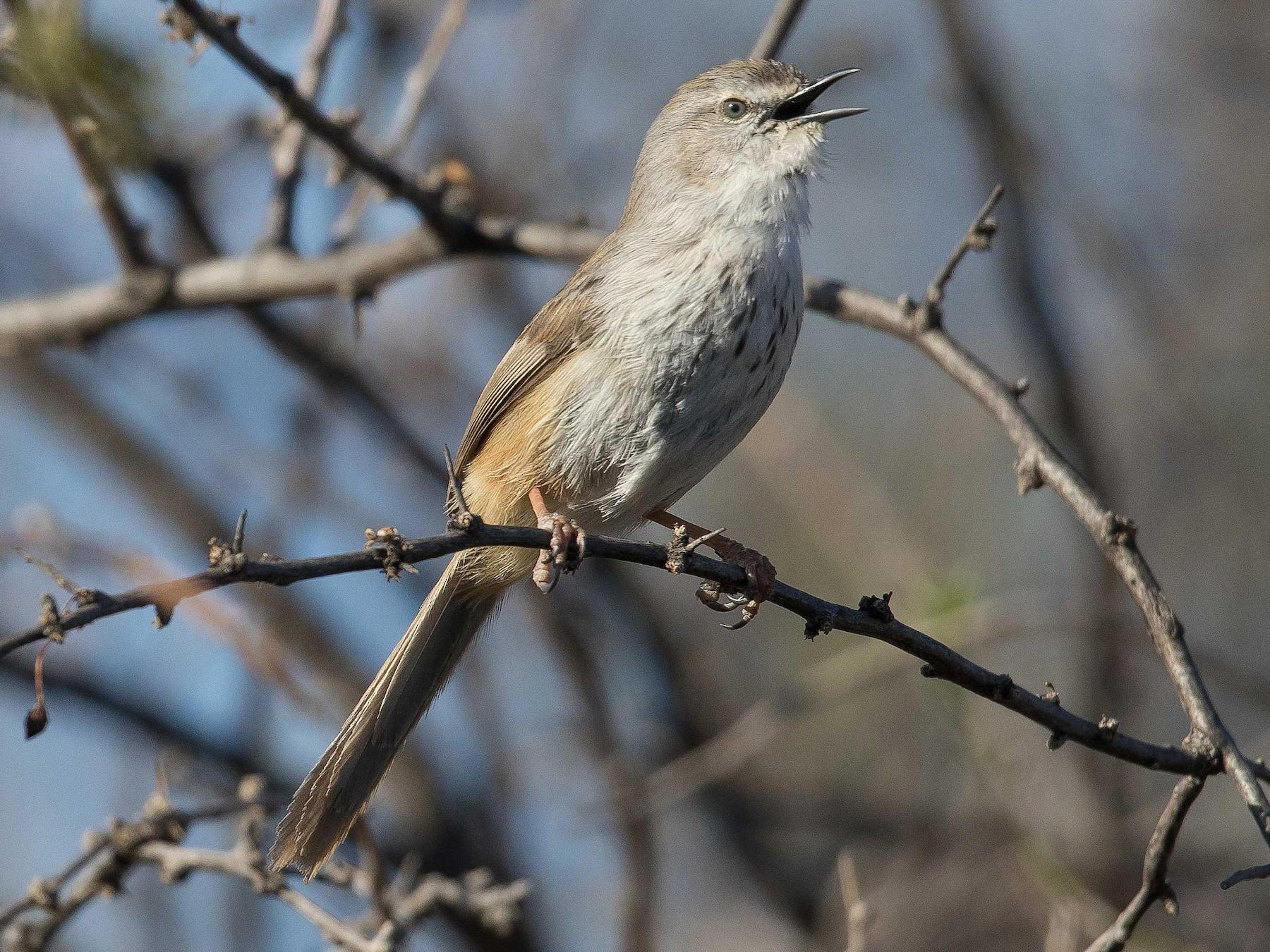 Namaqua Warbler - Keith Barnes