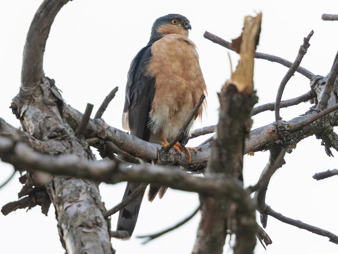 Rufous-breasted Sparrowhawk - Stefan  Hirsch