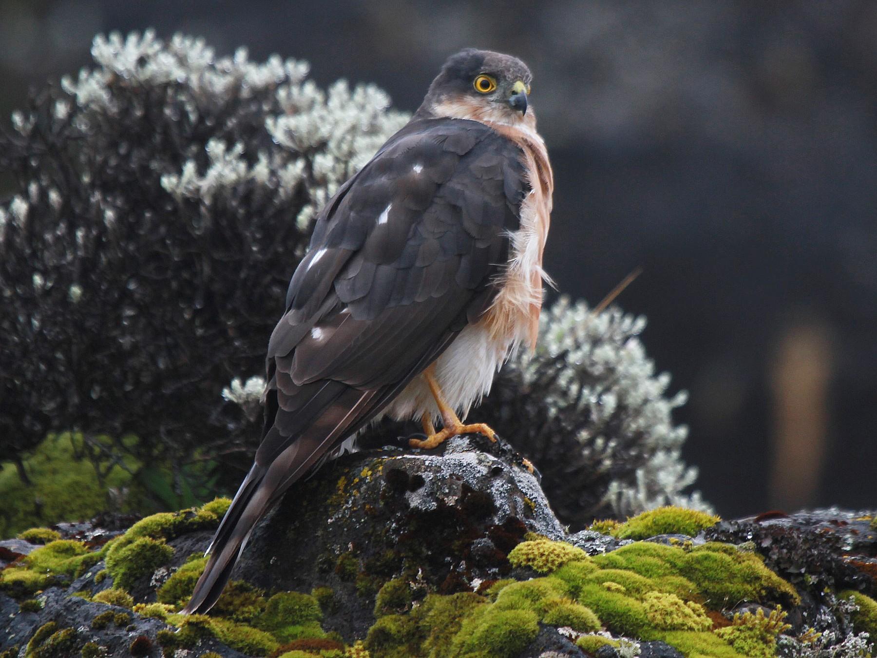 Rufous-breasted Sparrowhawk - Fabio Olmos