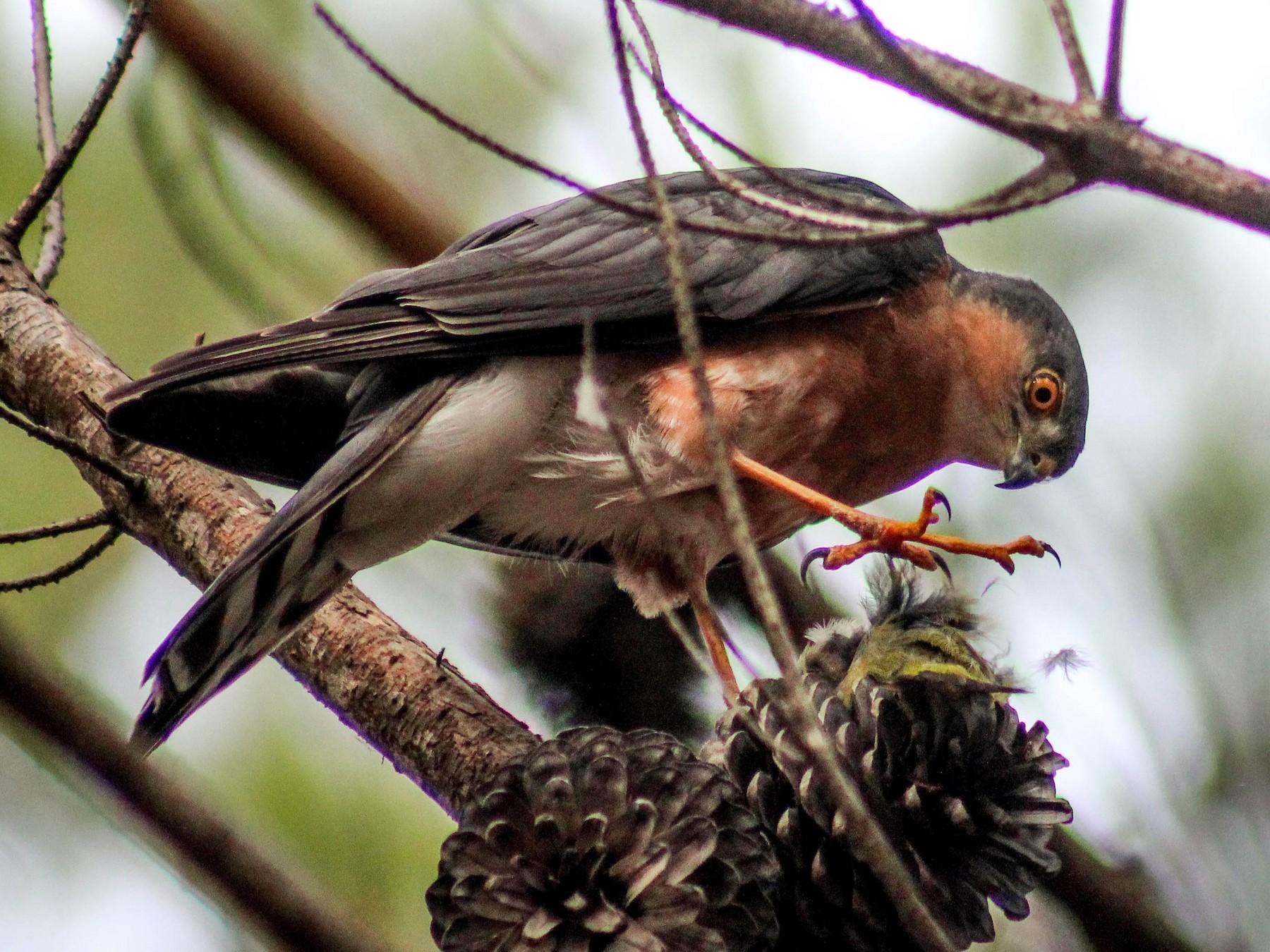 Rufous-breasted Sparrowhawk - Callum Evans