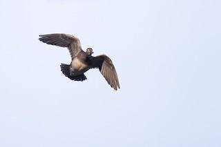 Wood Duck, ML226978681
