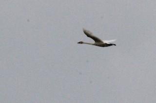 Trumpeter Swan, ML227219141