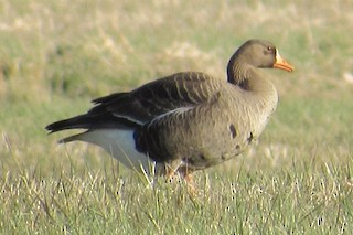 Greater White-fronted Goose, ML227366291