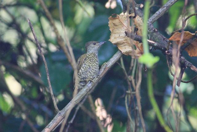 Buff-spotted Woodpecker
