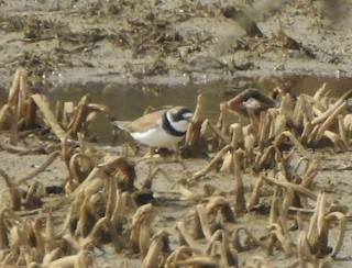 Semipalmated Plover, ML227655521