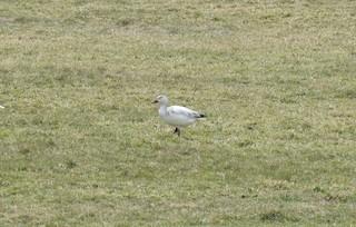 Snow Goose, ML227738361