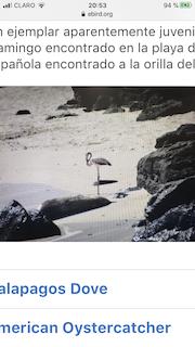 American Flamingo, ML227768441