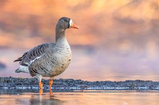 Greater White-fronted Goose, ML227962621