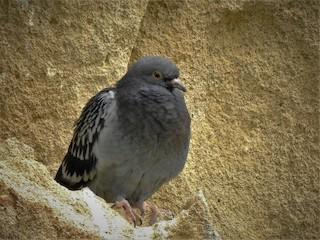 Rock Pigeon (Feral Pigeon), ML228090071