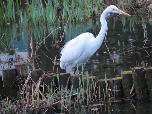 Great Egret (Eurasian)