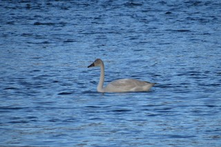 Trumpeter Swan, ML22816151