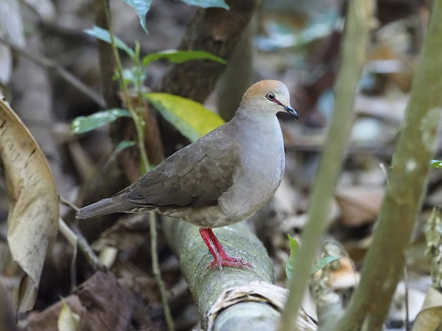 Gray-chested Dove