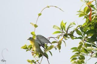 Rock Pigeon (Feral Pigeon), ML228241981