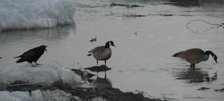 Canada Goose, ML228520511