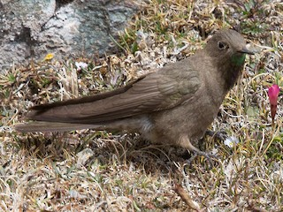 - Olivaceous Thornbill