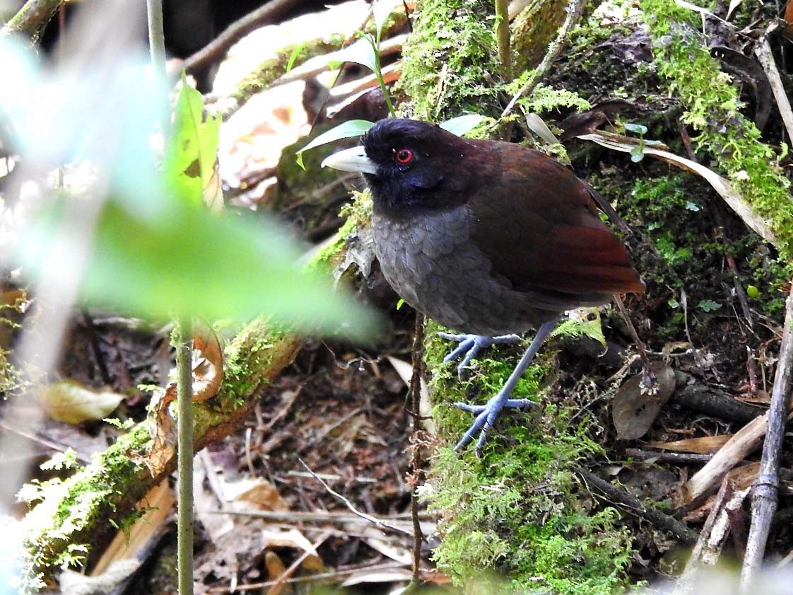 Pale-billed Antpitta - Marcelo Quipo