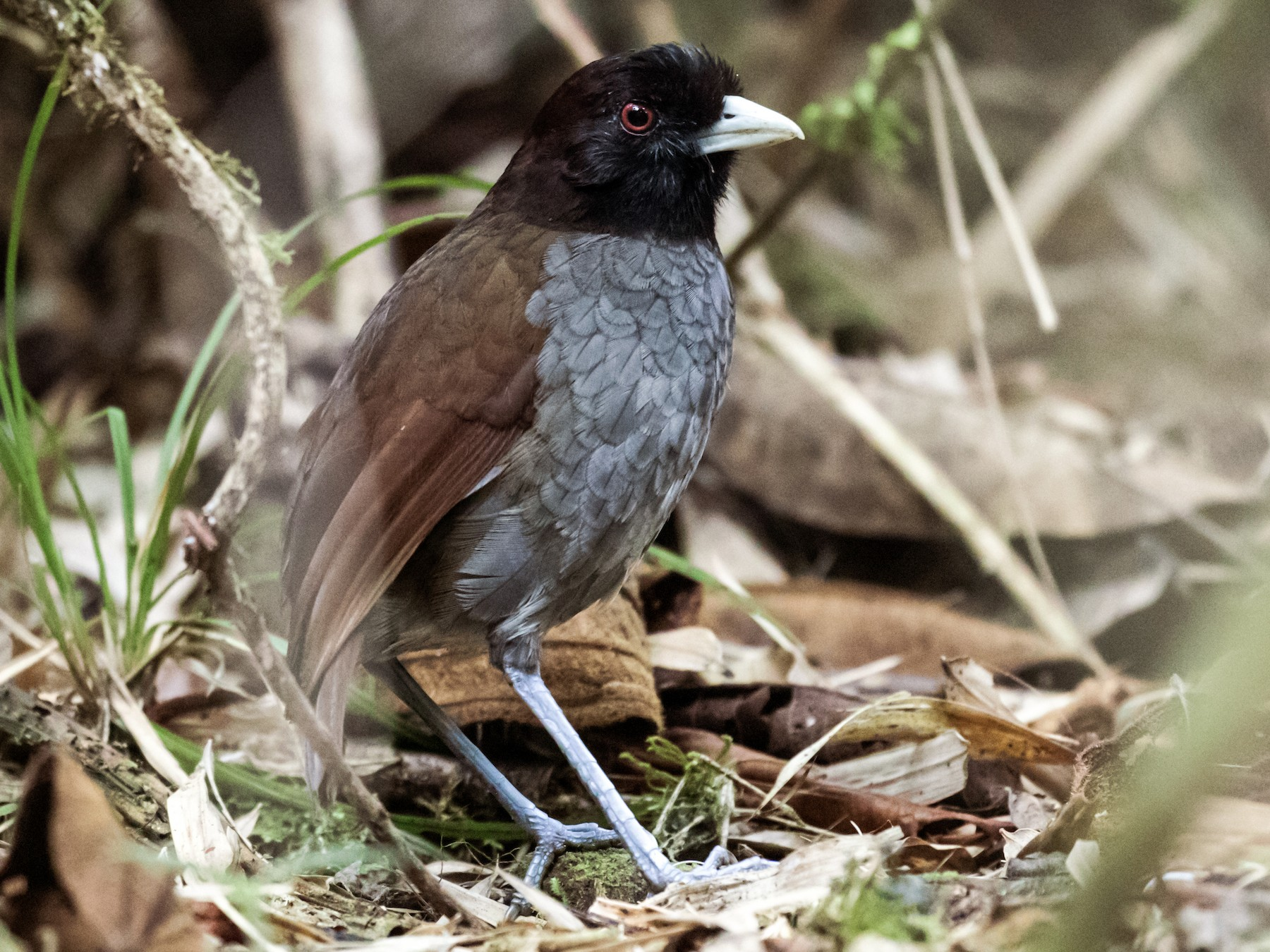 Pale-billed Antpitta - Nick Athanas