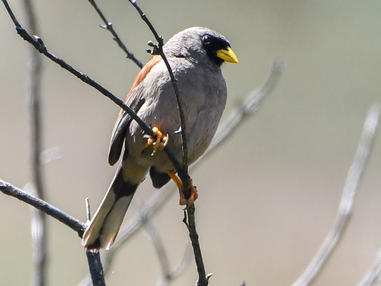 Rufous-backed Inca-Finch - Ben Sanders