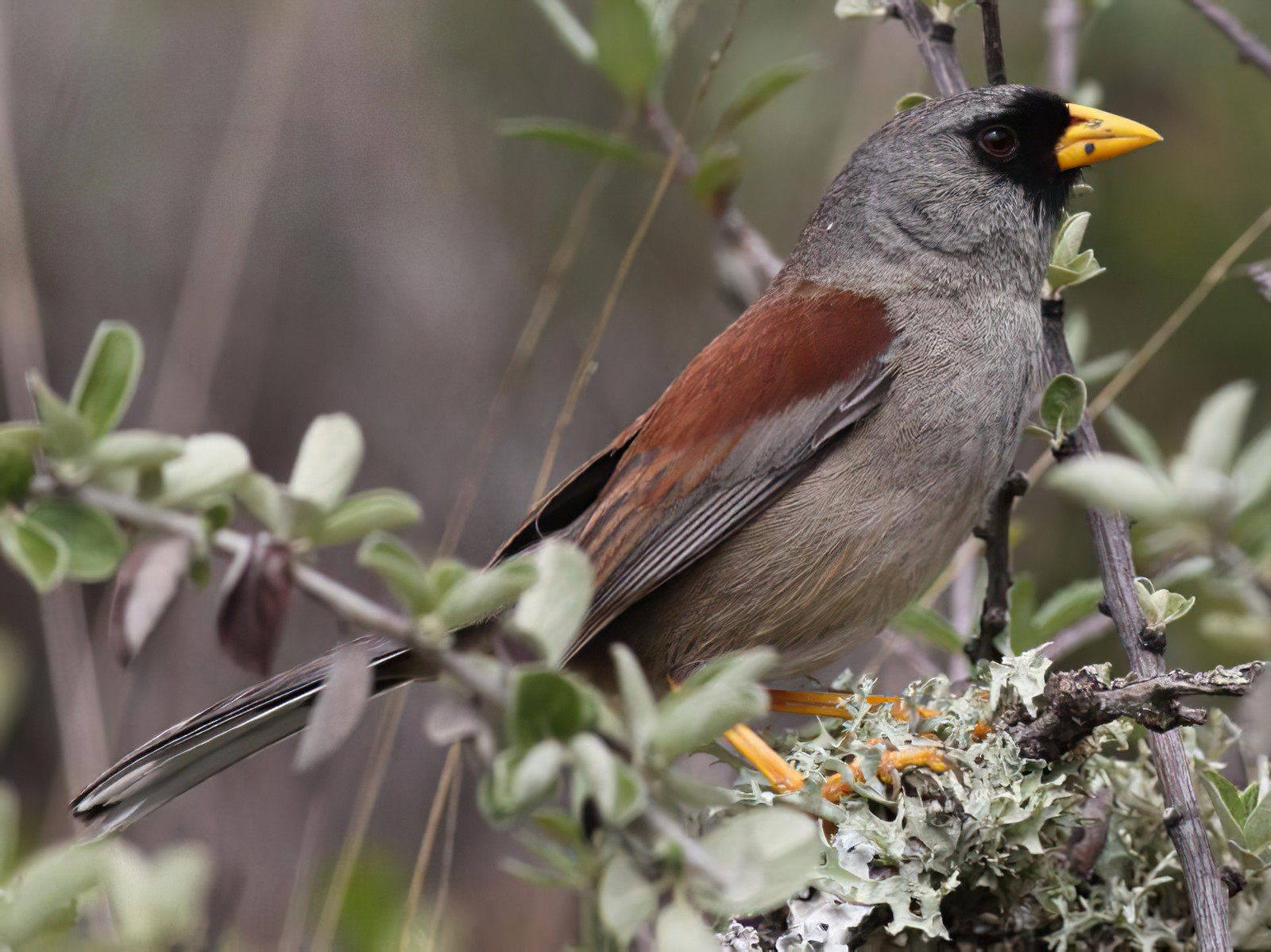 Rufous-backed Inca-Finch - Ian Davies
