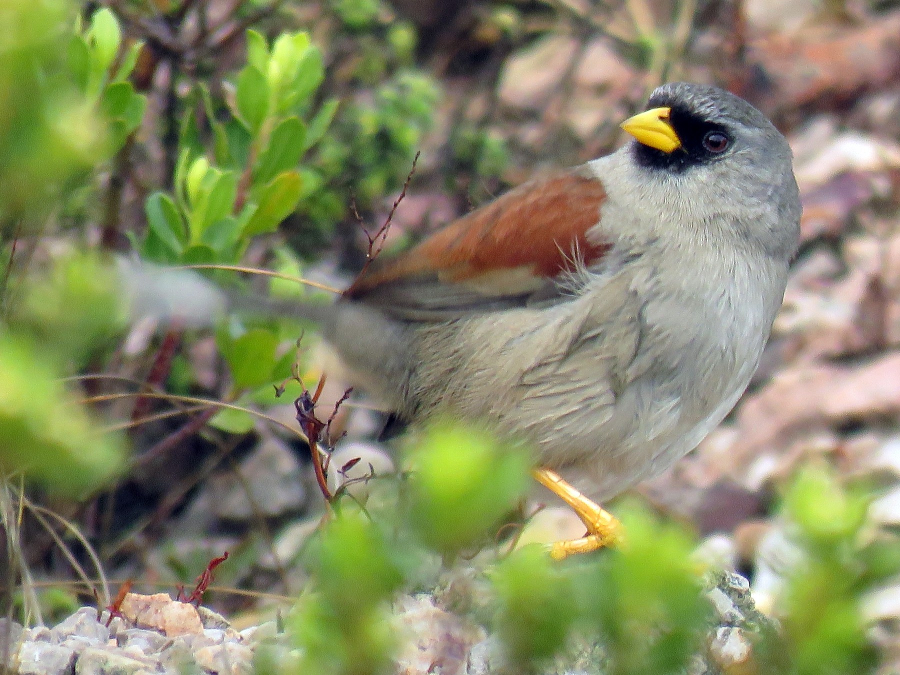 Rufous-backed Inca-Finch - Manuel Roncal-Rabanal