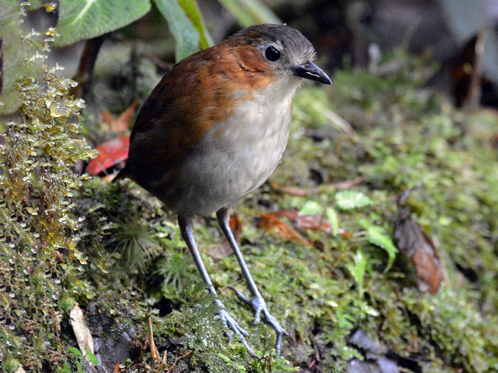 Rusty-tinged Antpitta - Henry Cook