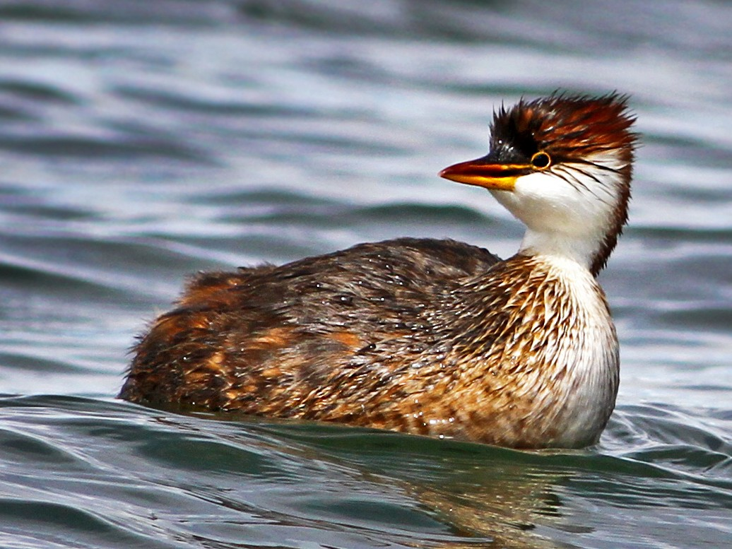 Titicaca Grebe - Andrew Spencer