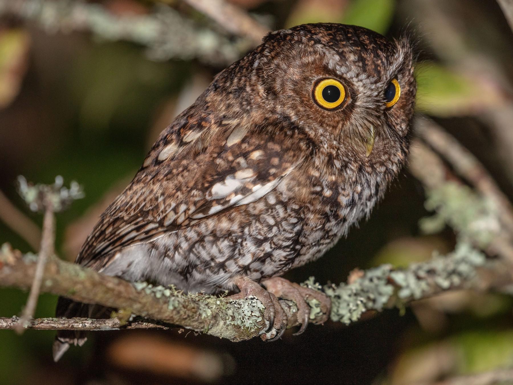 Bearded Screech-Owl - Blair Dudeck