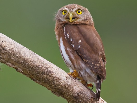 Central American Pygmy-Owl - Paul Cools