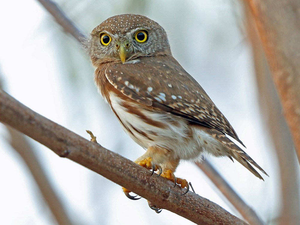 Colima Pygmy-Owl - Nigel Voaden