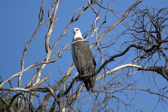 White-bellied Sea-Eagle