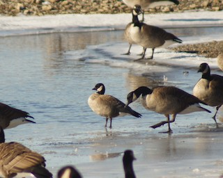 Cackling Goose, ML22885841