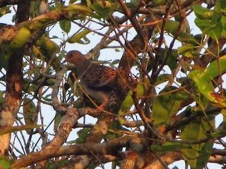Oriental Turtle-Dove, ML228892541