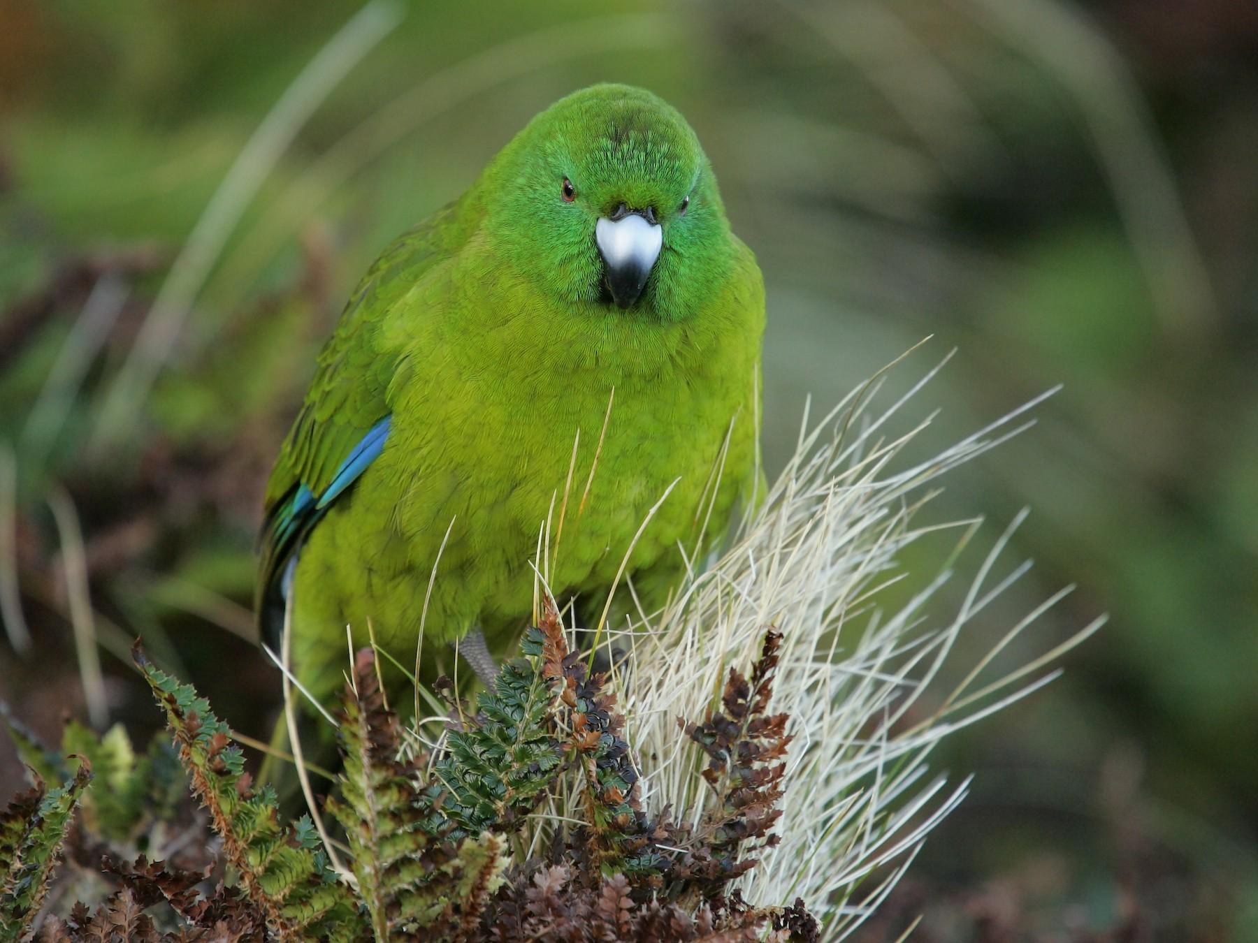 Antipodes Parakeet - David Boyle