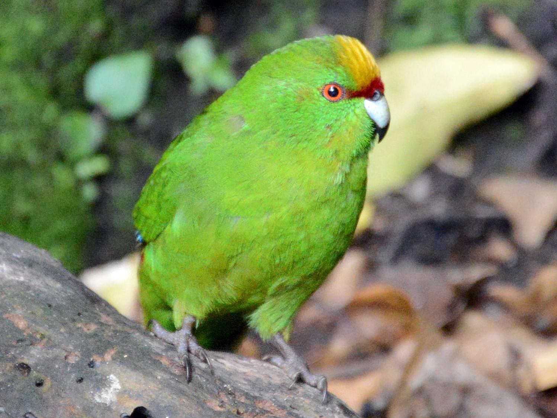 Yellow-crowned Parakeet - Roger Stone