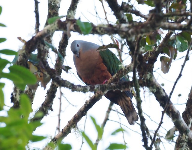 Rufescent Imperial-Pigeon