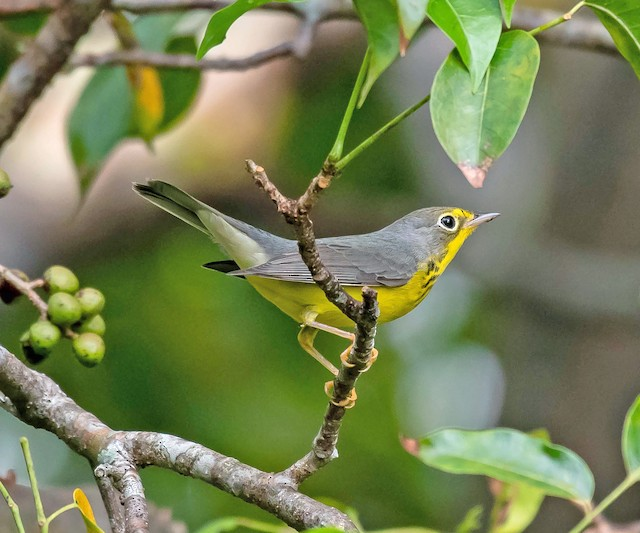 Possible Formative male Canada Warbler (09 September).