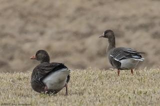 Greater White-fronted Goose (Eurasian), ML229390501