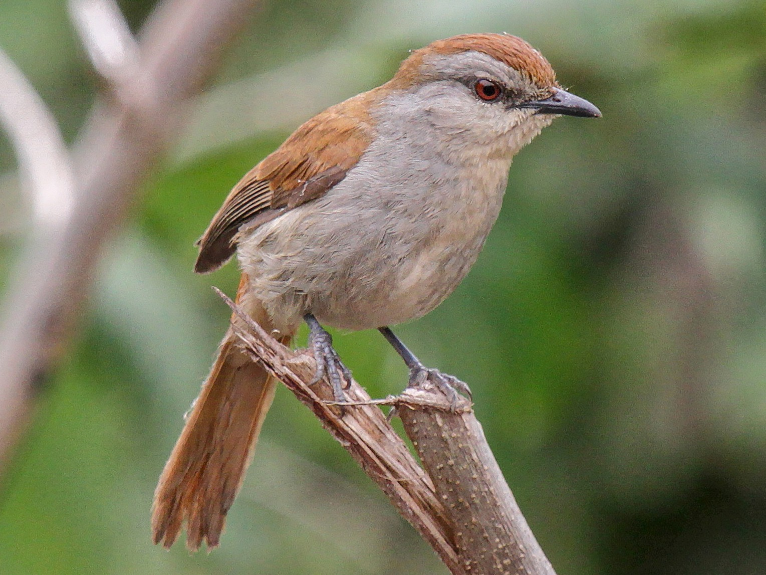 Rufous-tailed Palm-Thrush - Tommy Pedersen