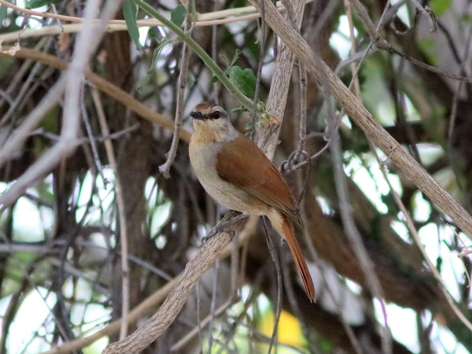 Rufous-tailed Palm-Thrush - John Drummond