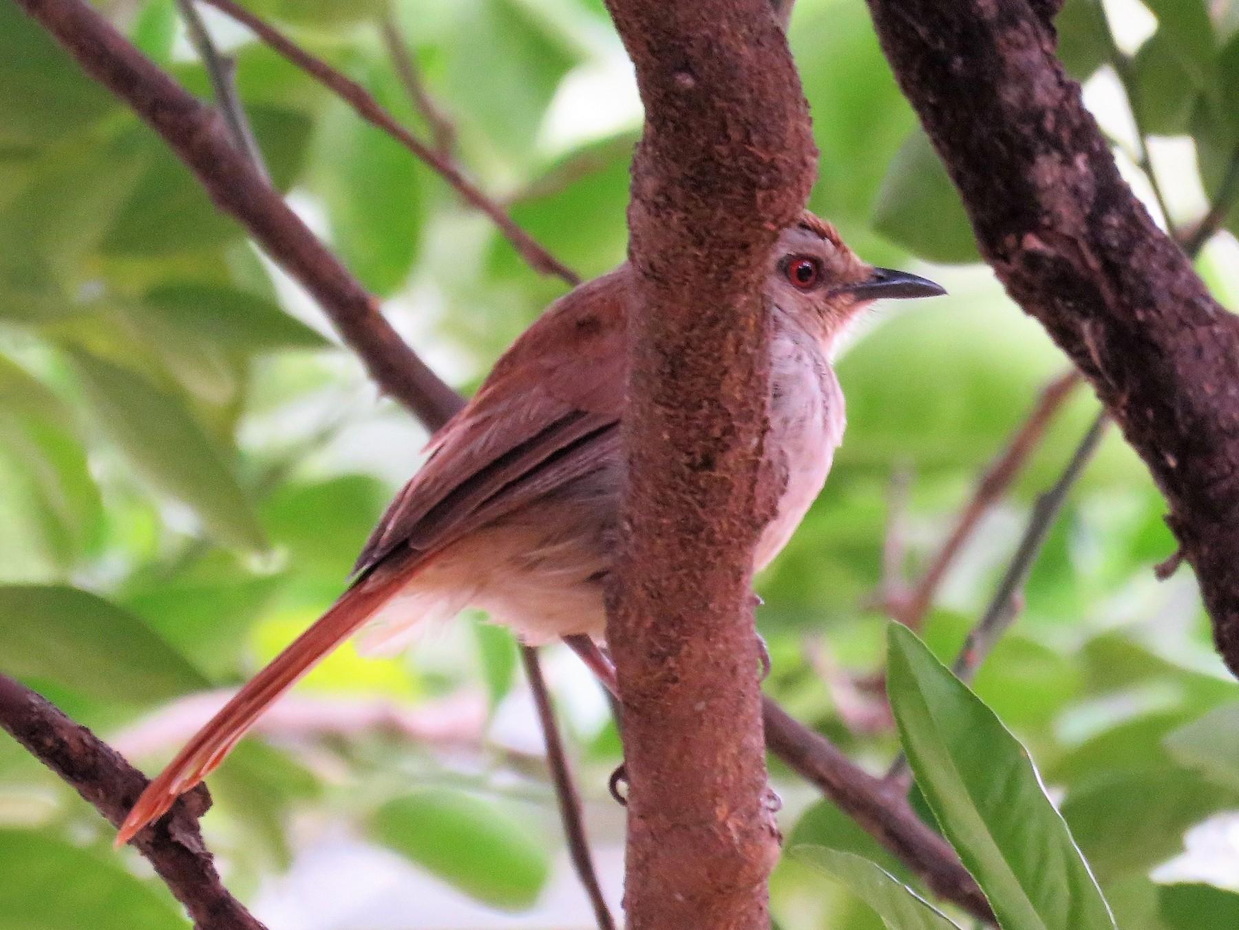 Rufous-tailed Palm-Thrush - Zlatan Celebic