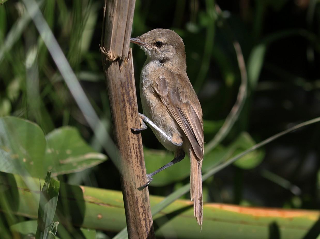 Greater Swamp Warbler - Charley Hesse