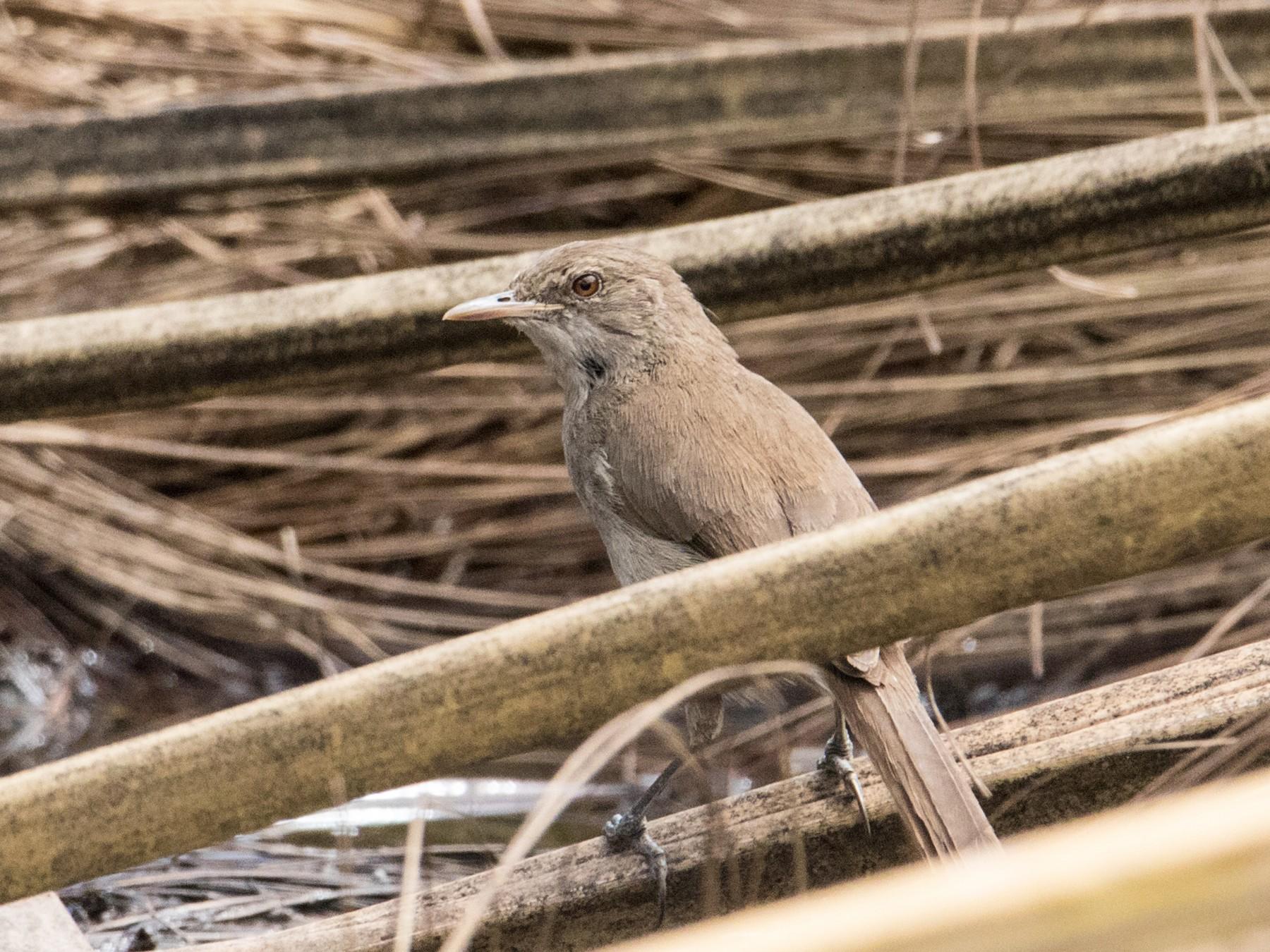 Greater Swamp Warbler - Peter  Steward