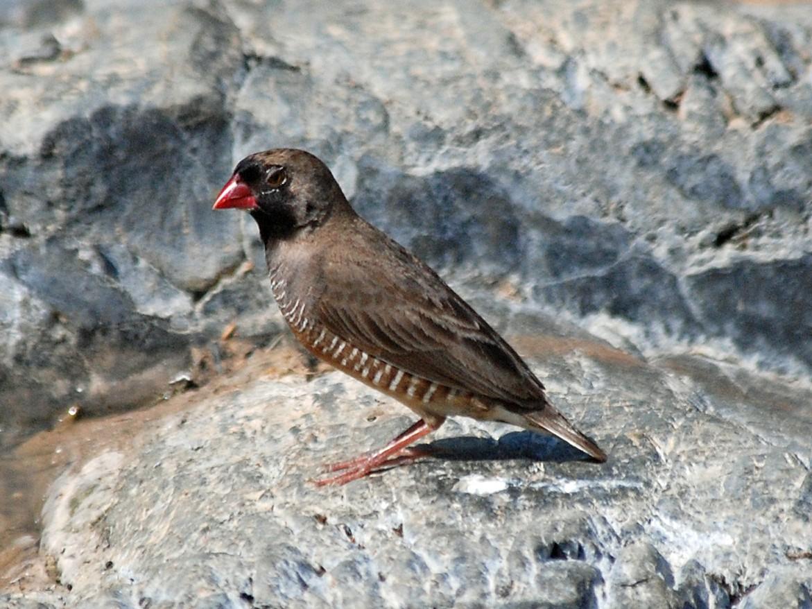Quailfinch - Nigel Voaden