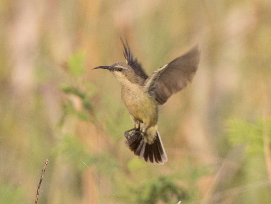Copper Sunbird - Ian Davies