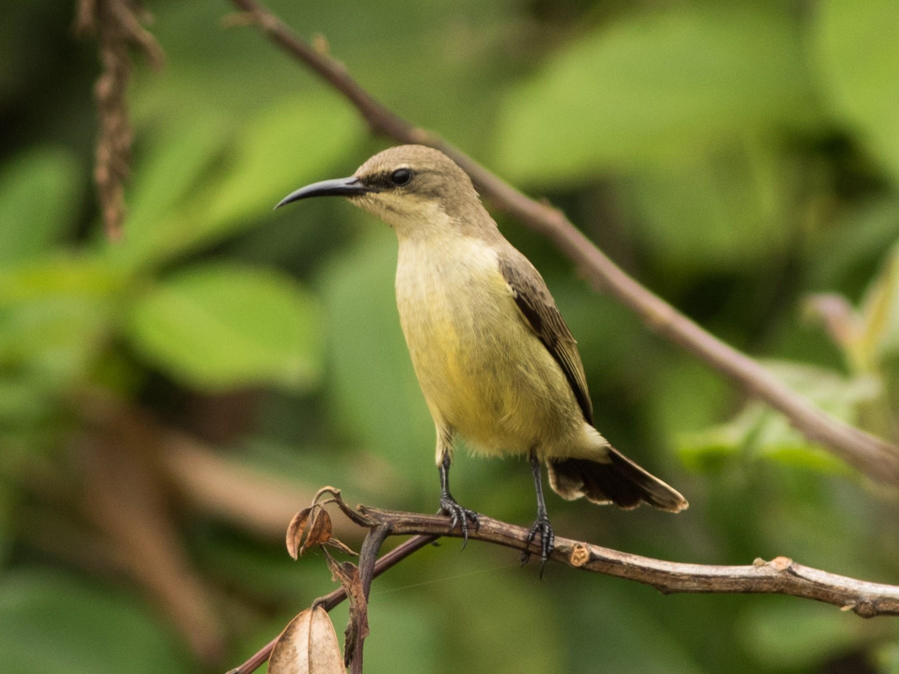 Copper Sunbird - Joachim Bertrands
