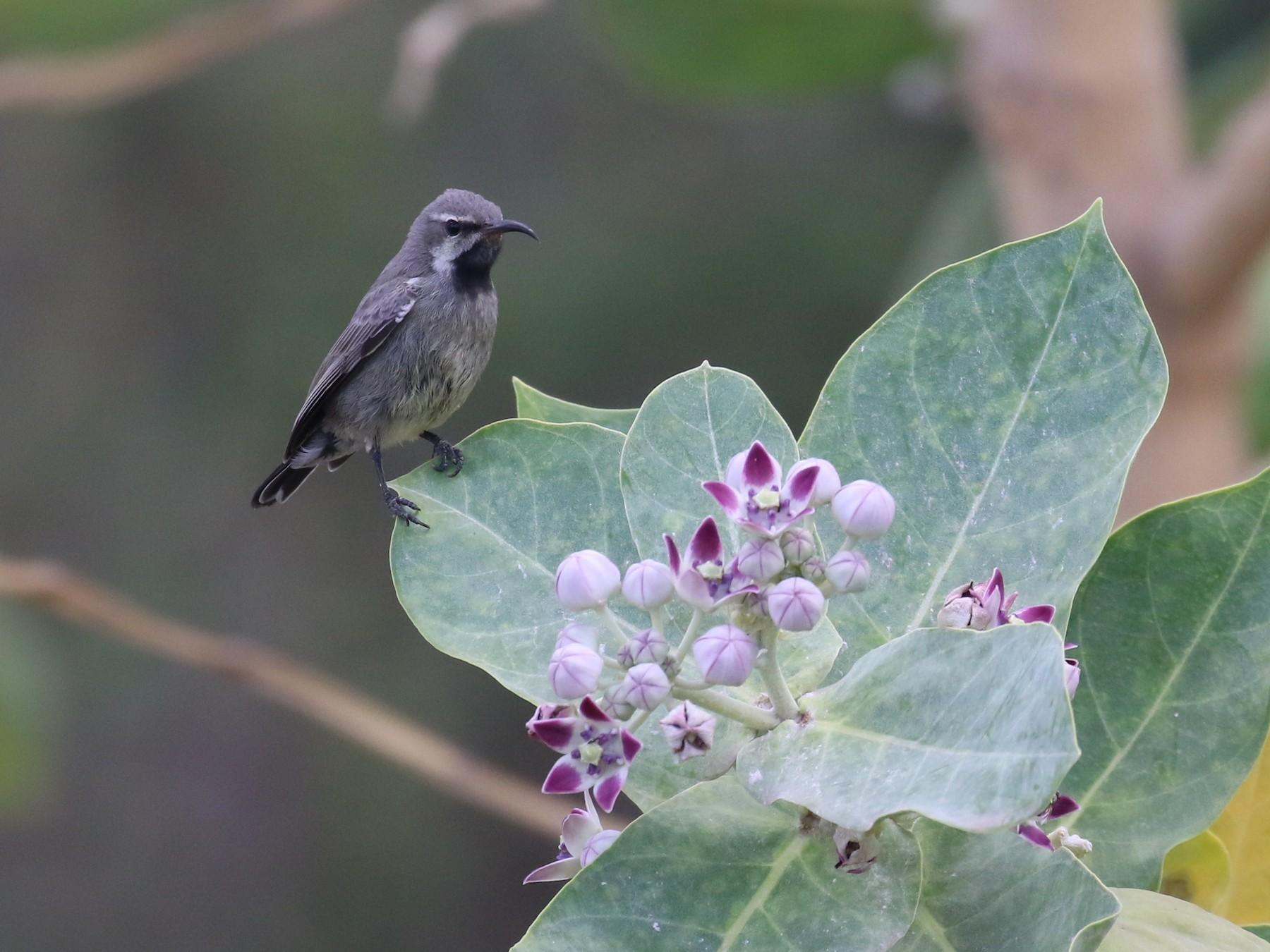 Copper Sunbird - Fikret Ataşalan