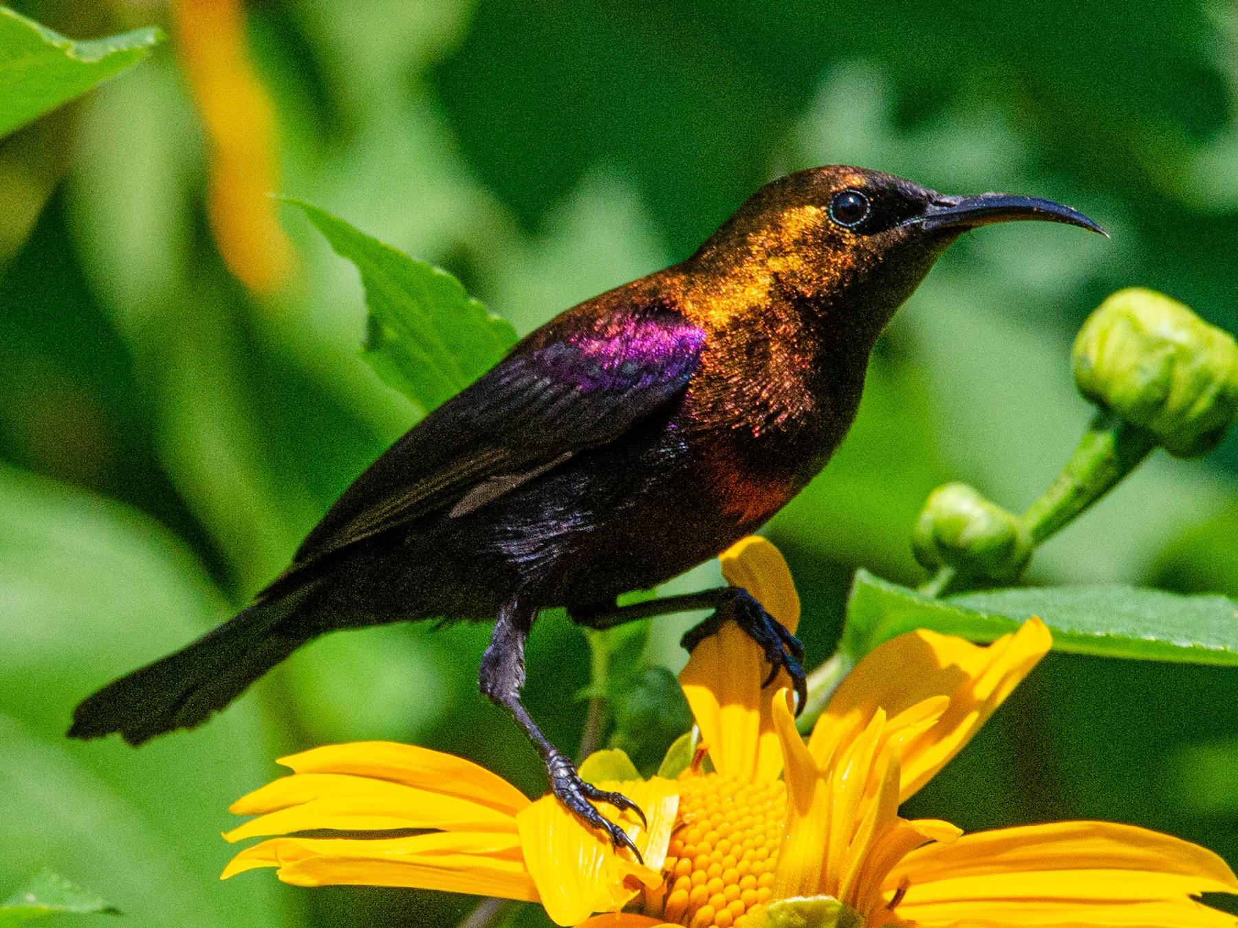 Copper Sunbird - Antoon De Vylder
