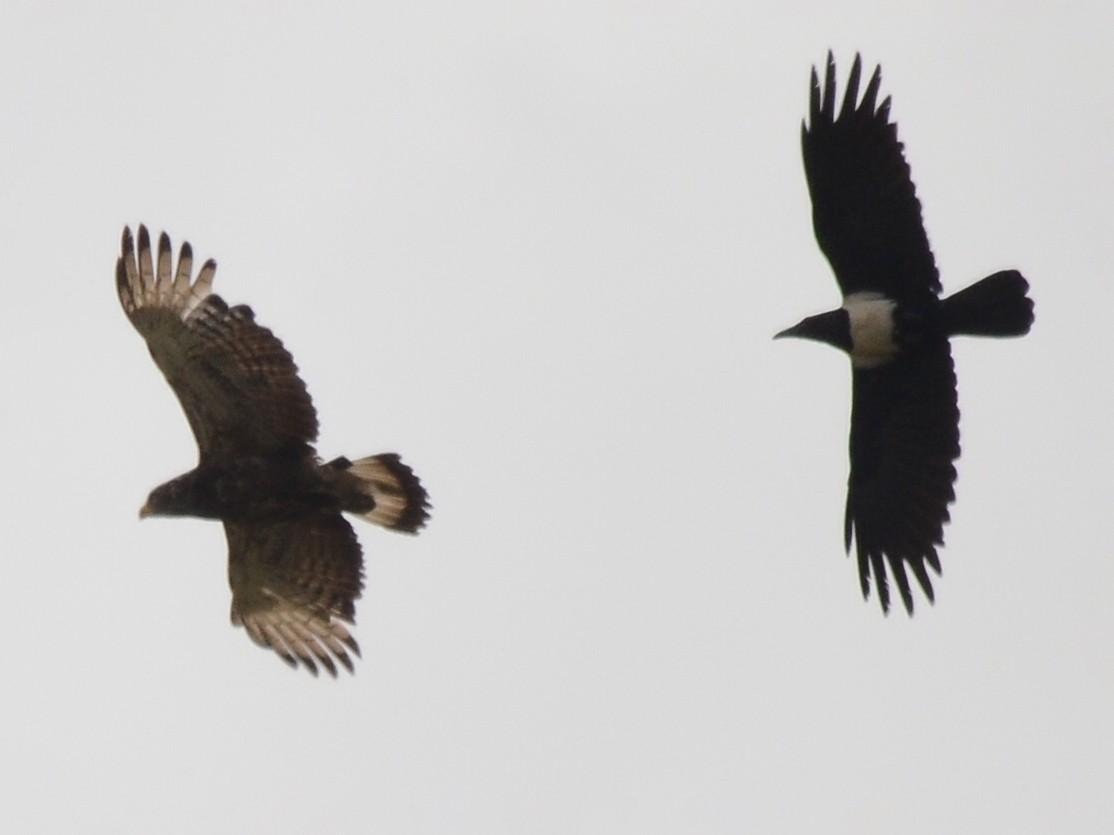 Banded Snake-Eagle - John Mark Simmons